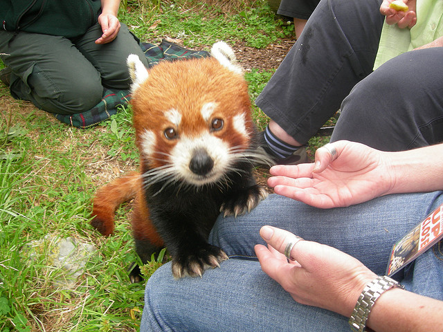Wellington Zoo - Red Panda