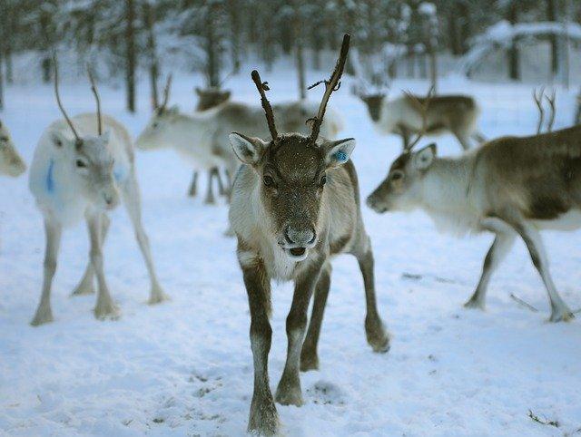 Reindeer Lapland Finland Winter